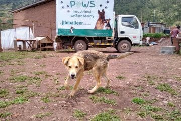Dog with the mobile veterinary clinic in Cusco