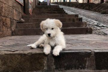 White street dog in Cusco