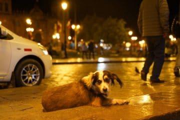 Street dog in Peru