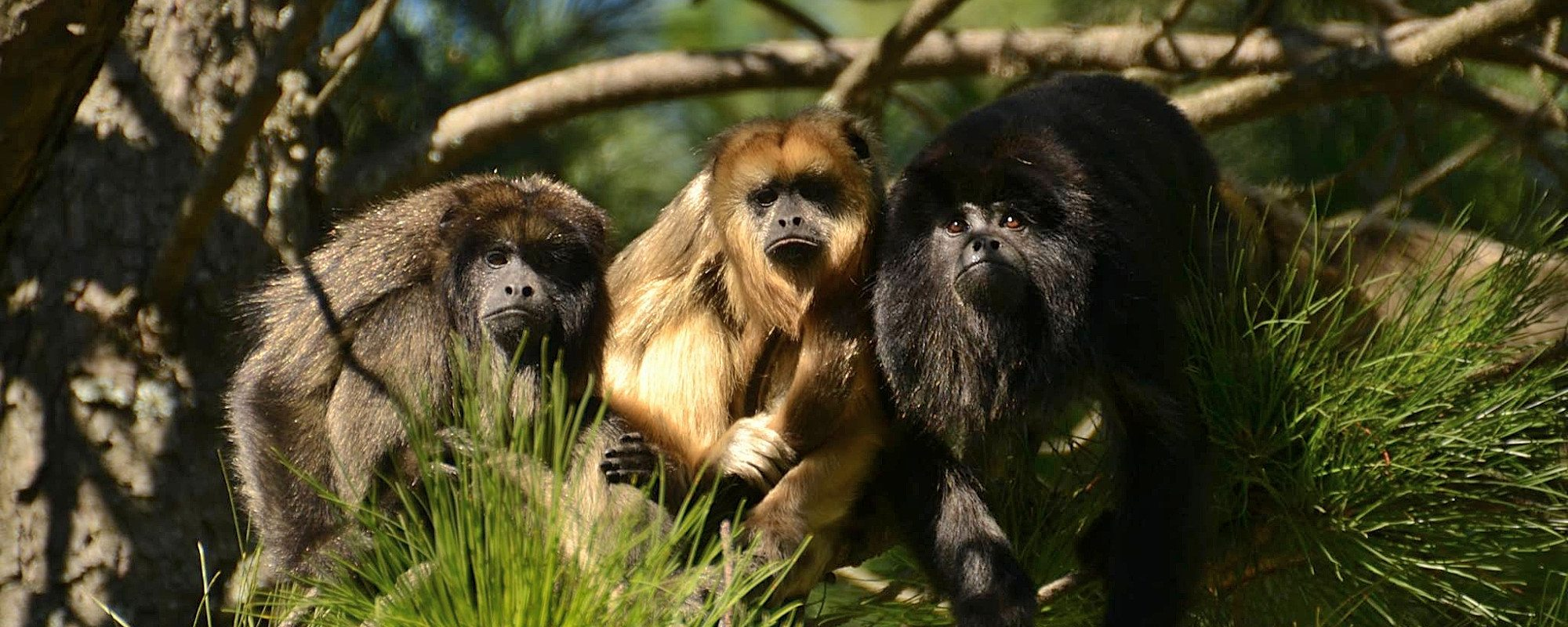 Rescued Howler monkeys