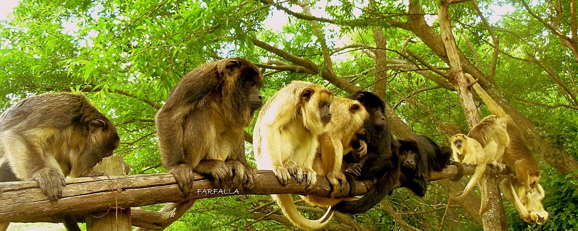 Monkeys at the Argentina sanctuary