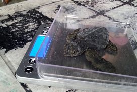 Weighing newly hatched turtles Costa Rica