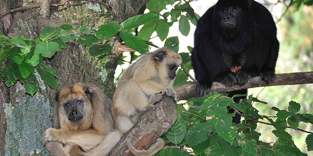 Argentina Howler Monkey Rescue centre