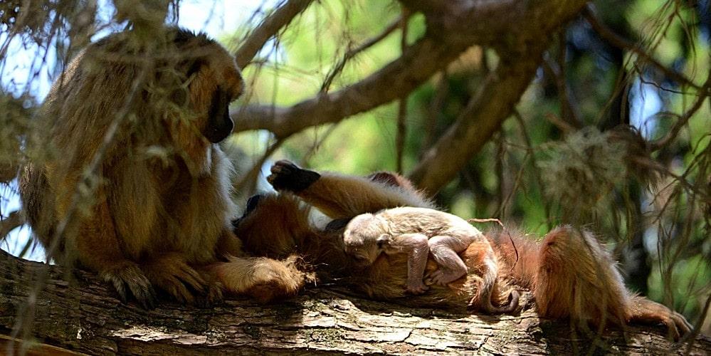 Argentina Howler Monkey Sanctuary
