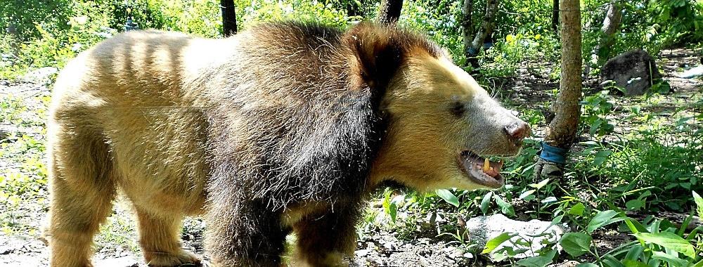 Bear at the Cambodia Sanctuary