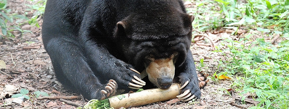 Bear foraging for food at the sanctuary