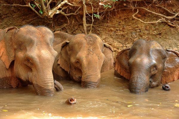 Bathing Elephants in Cambodia