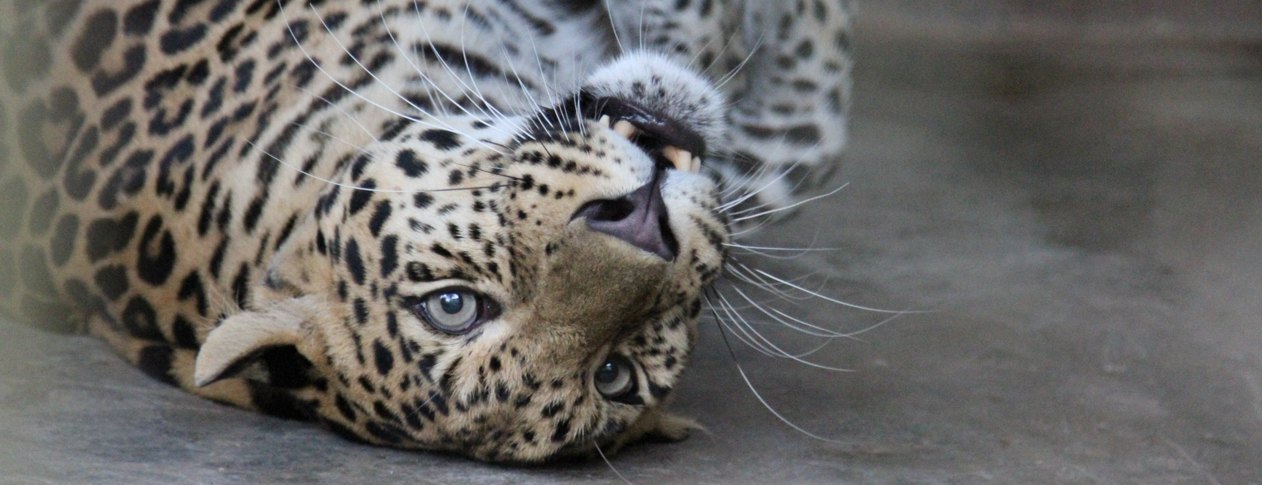 Leopard at Laos Wildlife Rescue Project