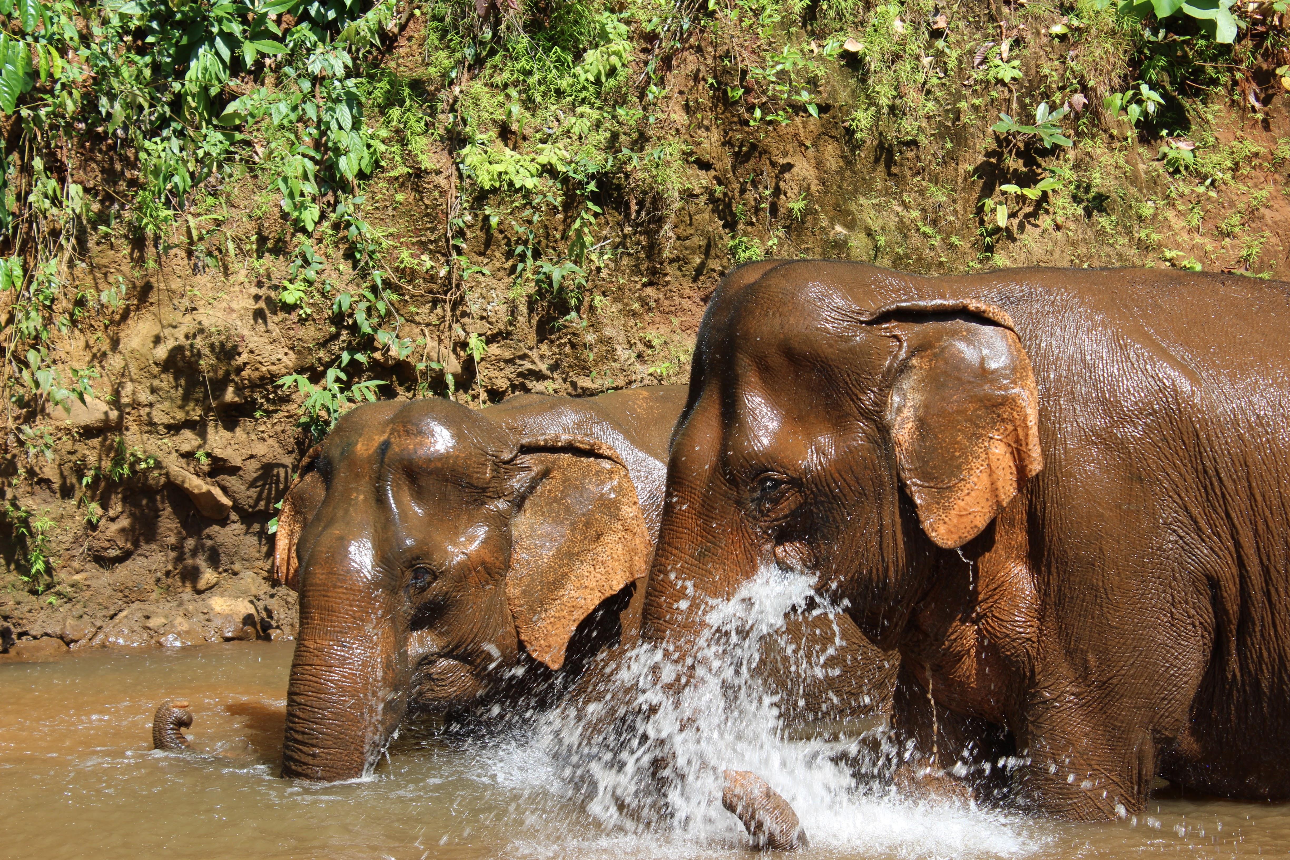Elephants bathing at the sanctuary