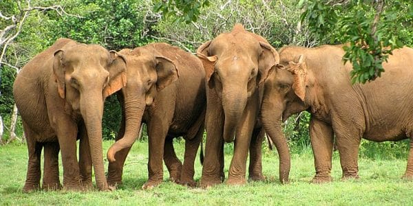 Rescued elephants at the Cambodia Elephant sanctuary