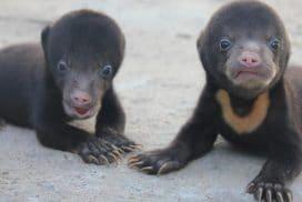 Baby sun bears