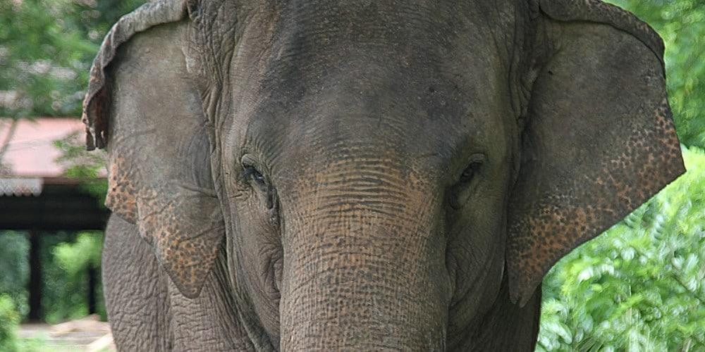 Elephant at the Laos Wildlife Rescue Sanctuary