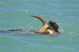 Turtle swimming in Costa Rica