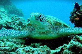 Sea Turtle swimming around coral reef