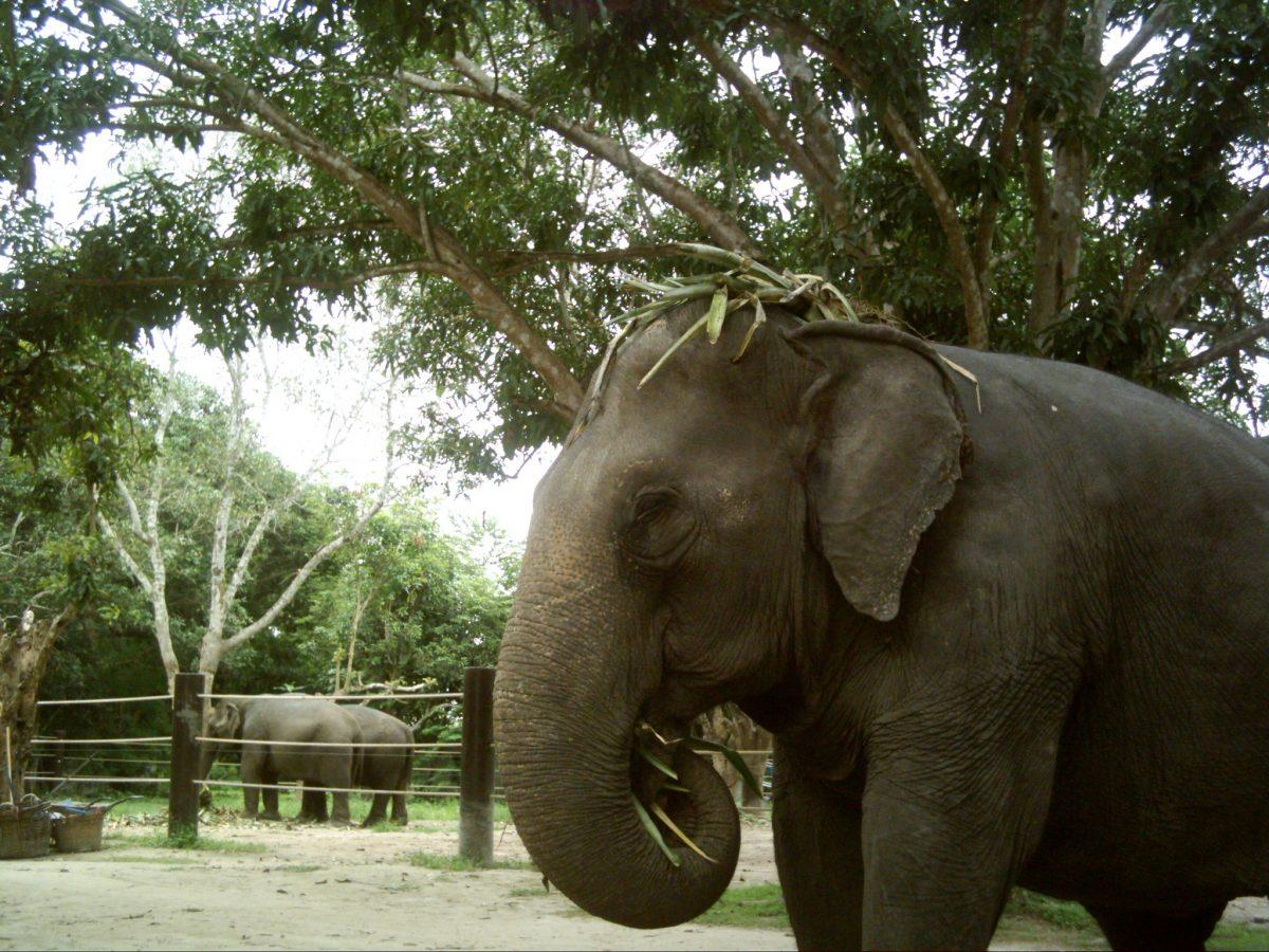 Elephant at the Thai Sanctuary