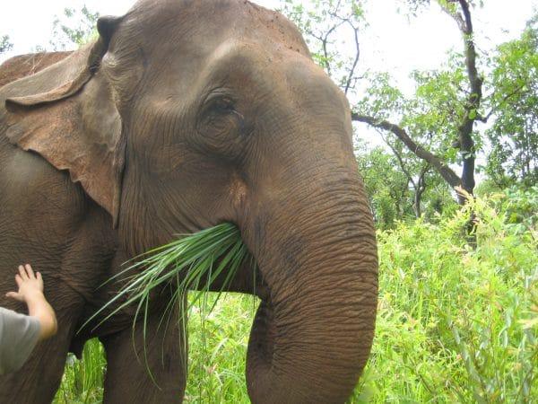 Elephant enjoying grass in Cambodia