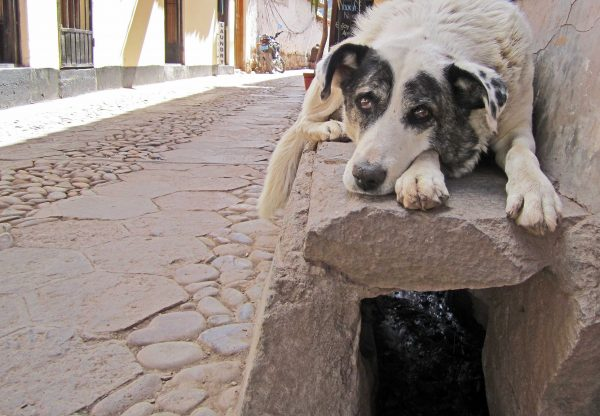 Street Dog in Cusco