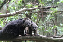 Rescued civets at the Thailand Wildlife Sanctuary