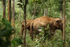 Rescued elephants enjoying a peaceful life in the forest