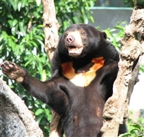 Rescued Cambodia Bear