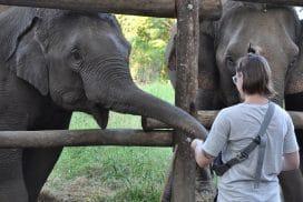 Volunteer feeding the elephants in Thailand