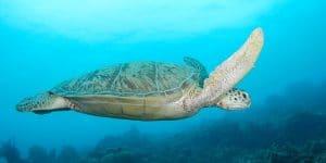 Borneo Sea Turtle