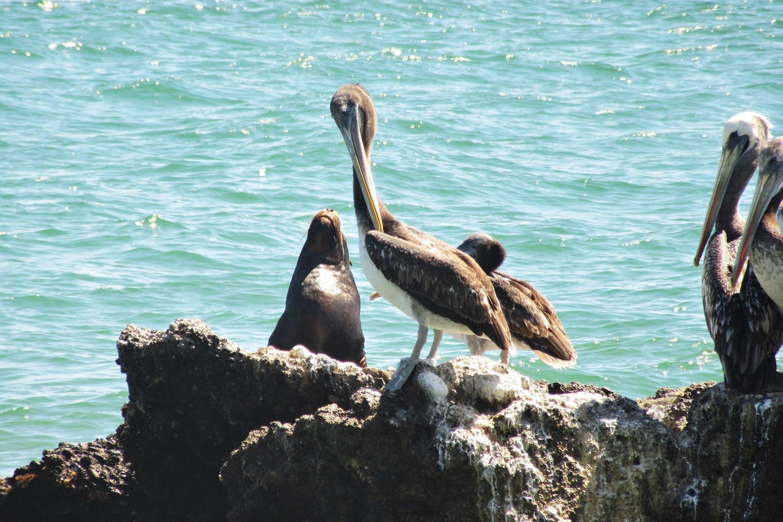 Pelicans and Sea Lions at Peru Marine Conservation Project