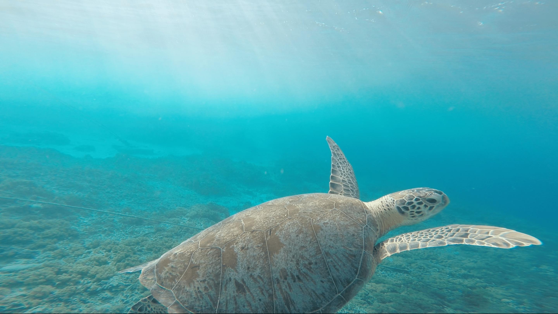 Sea Turtle in the North of Peru