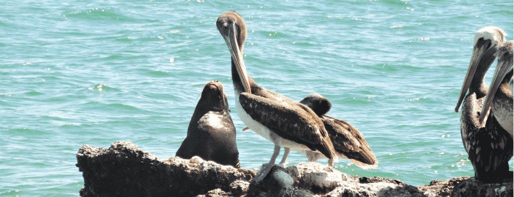Peru Marine Pelicans and Seals