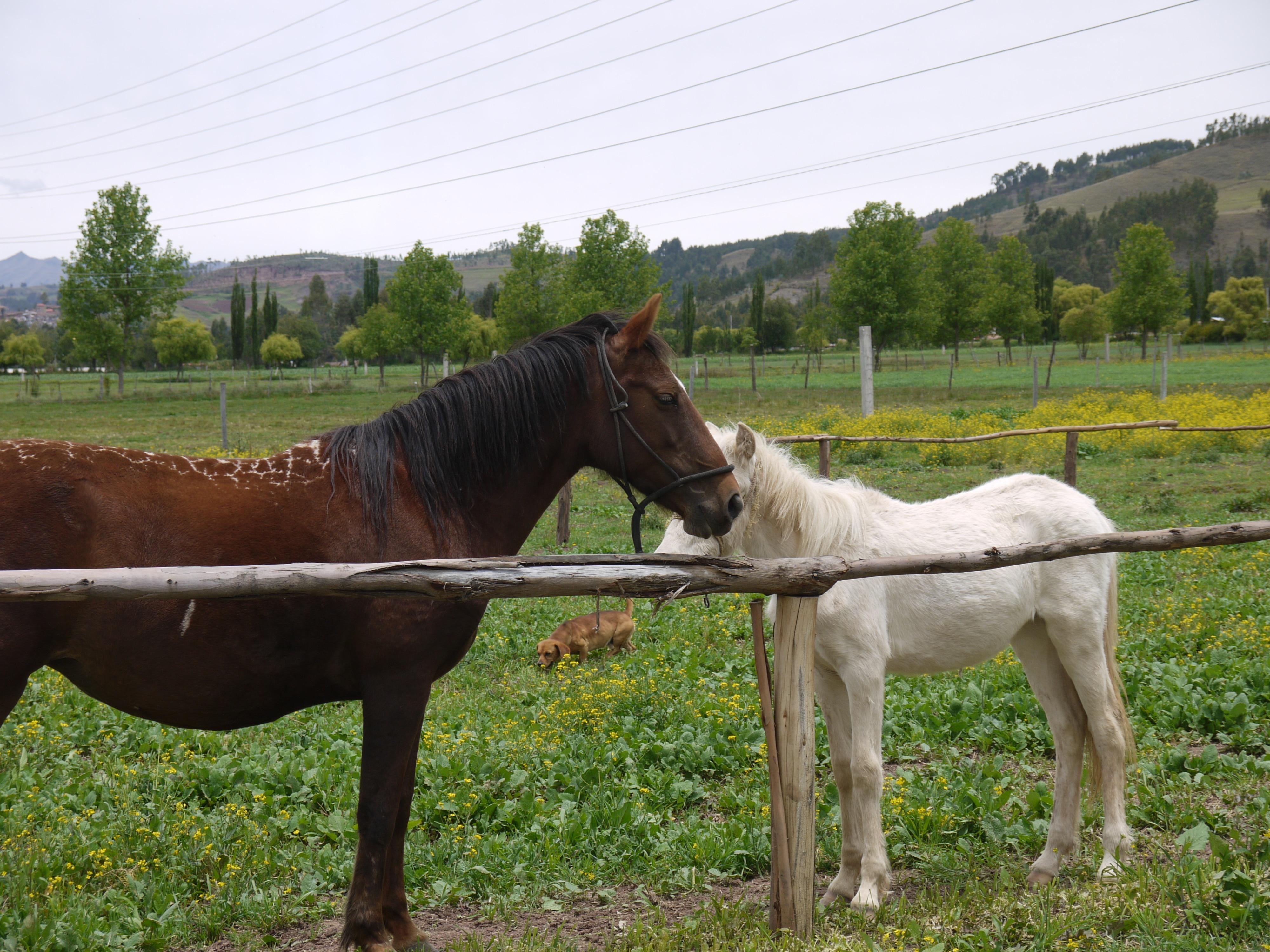 Volunteering with Horses in Peru