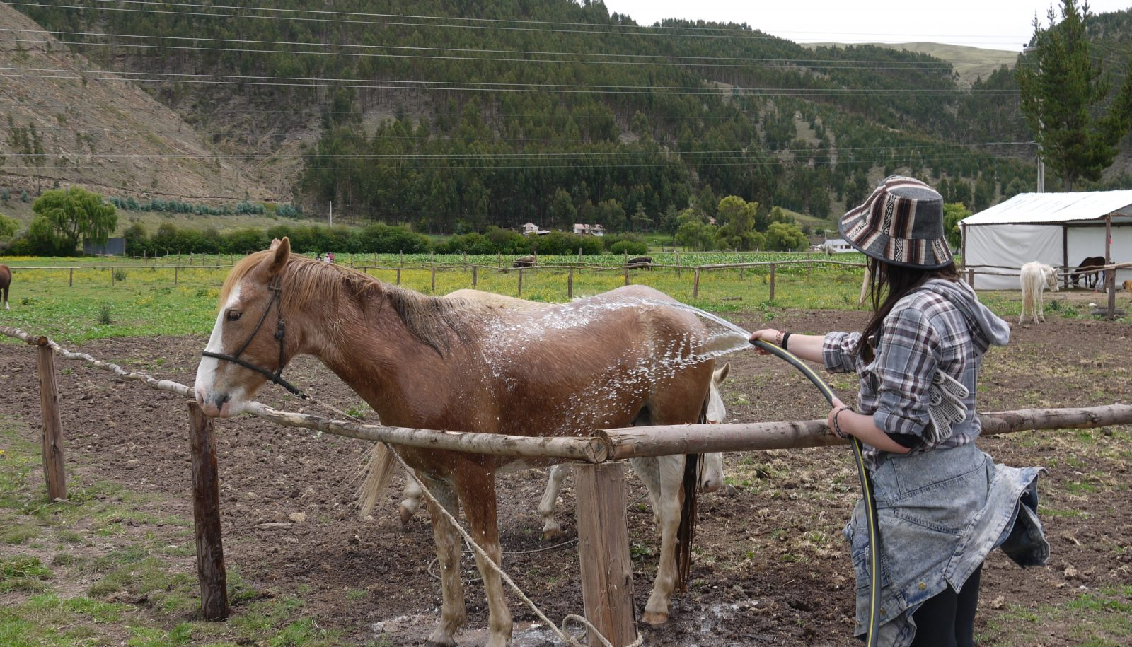 Volunteer washing Horses at Peru Horse Sanctuary