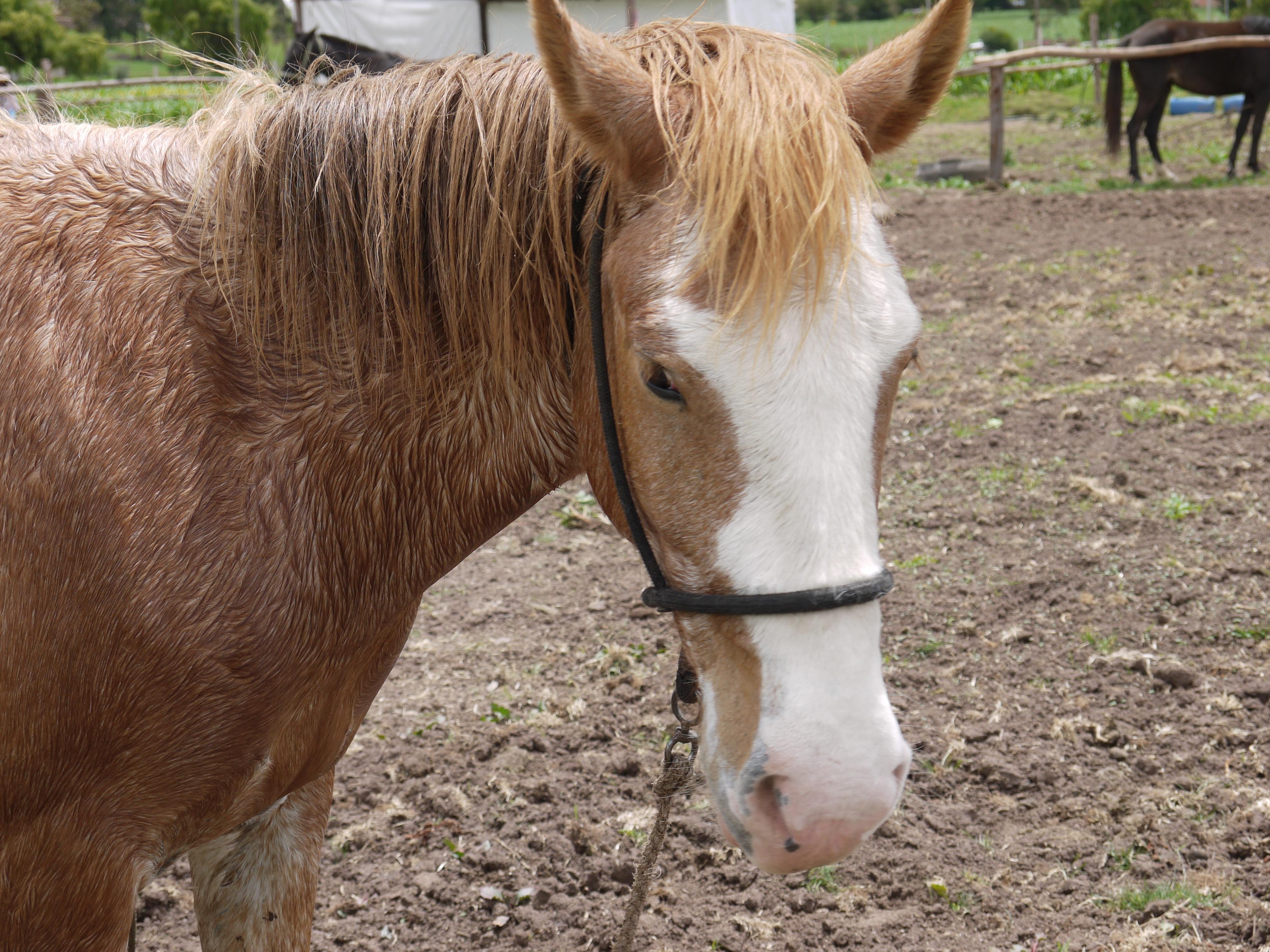 Recused Horse at Peru Horse Sanctuary