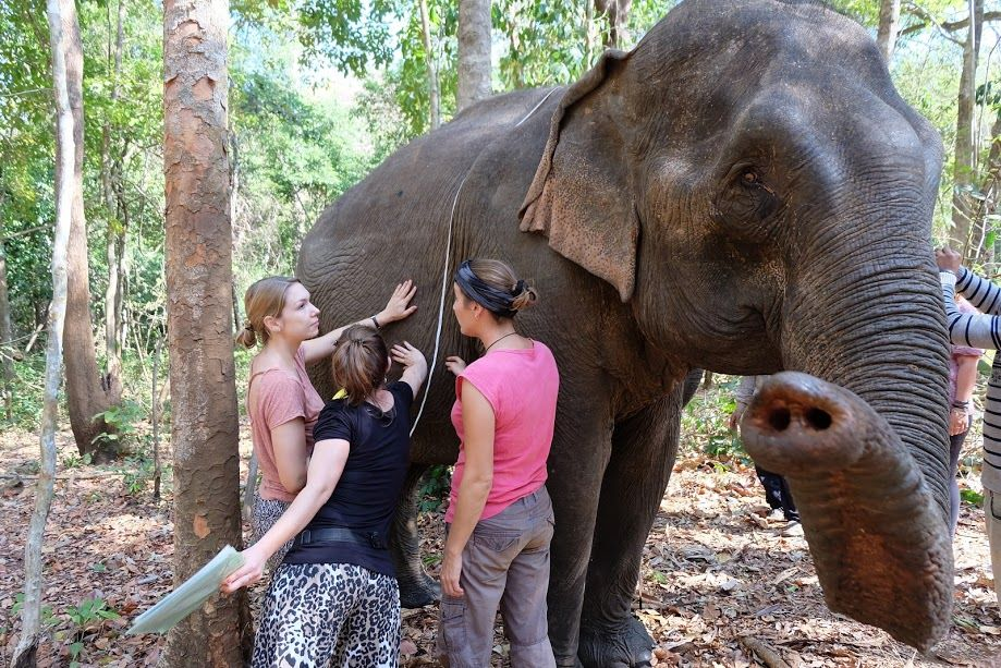 Volunteers caring out health monitoring of an elephant