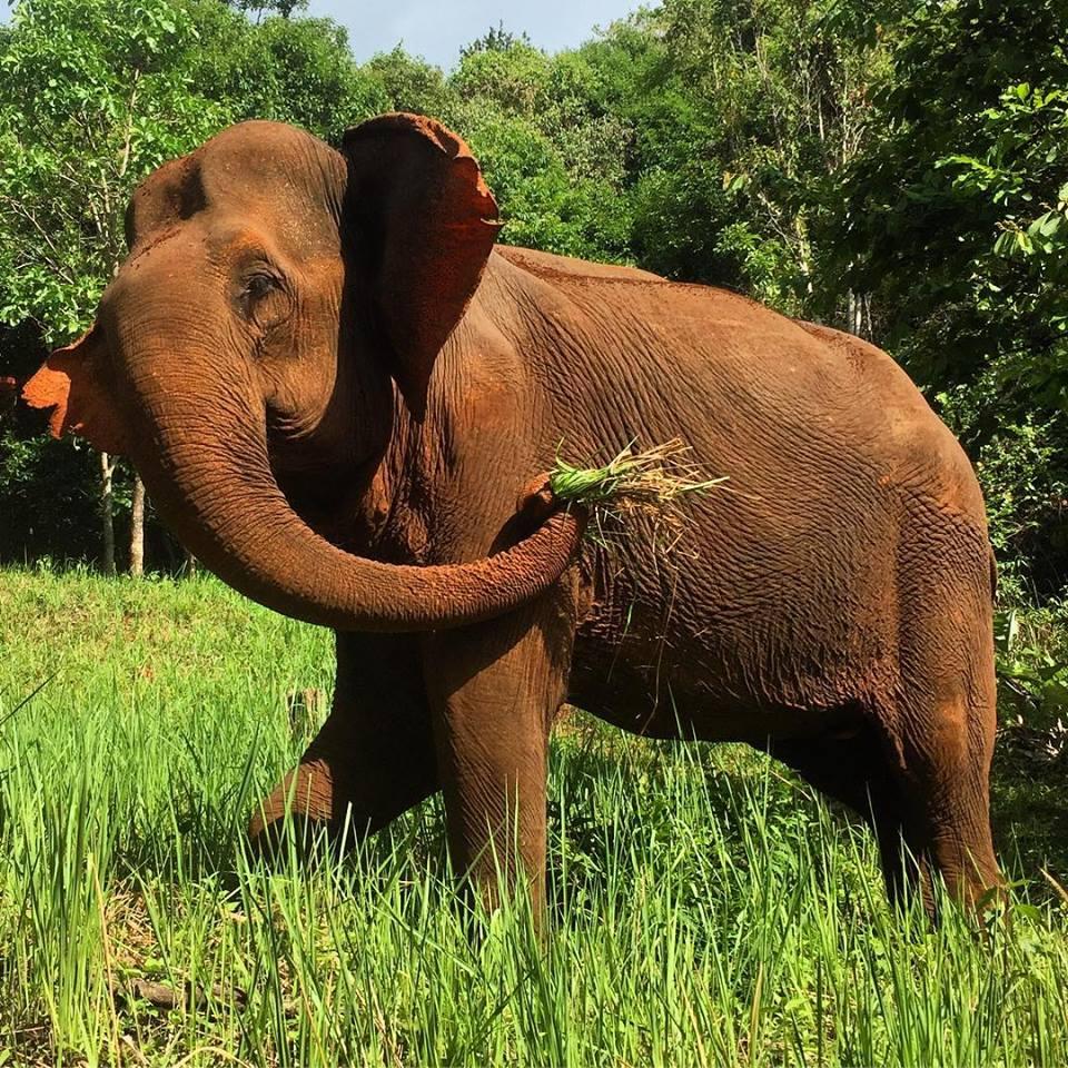 Sambo the rescued elephant