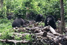 rescued bears living safe at cambodia sanctuary