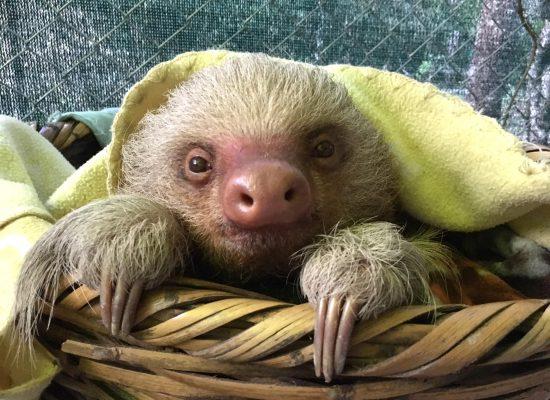 Volunteering abroad to help sloths
