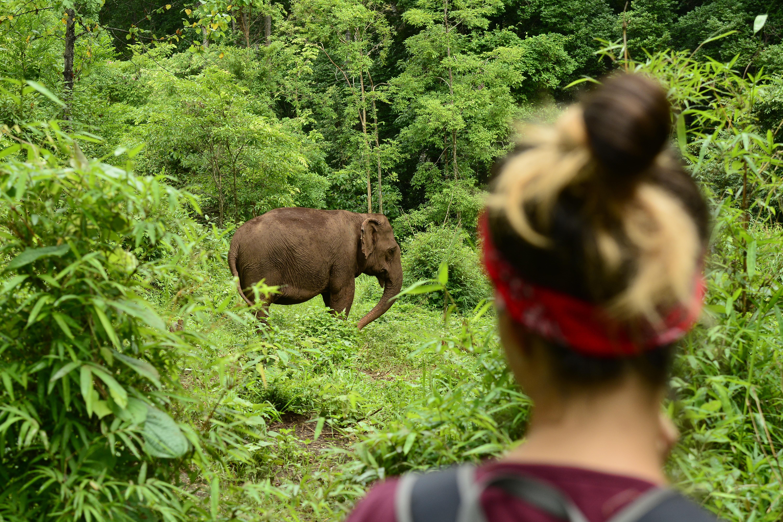 Volunteer observing one of the elephants
