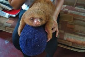 Baby Sloth Amazon Shelter