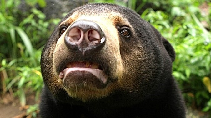 Why is Sun Bear Conservation Important?