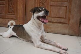 rescued dog at animal welfare project, Phnom Penh, Cambodia