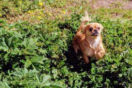 Dog in Grass Cusco Peru
