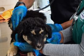 Providing Access to Veterinary Care in Rural Cusco Villages